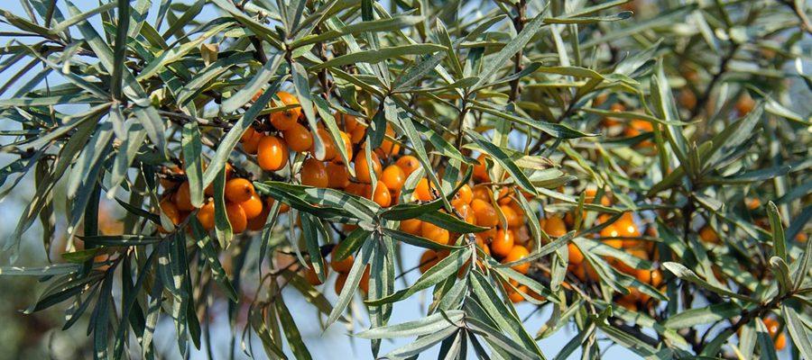 Super roślina Rokitnik
