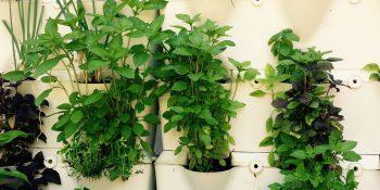 Świeże zioła w domu