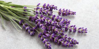 Lawenda – źródło zdrowia w pachnącym wydaniu