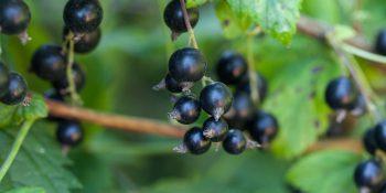 Czarna porzeczka – pożytek nie tylko z owoców