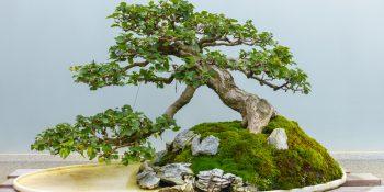 Drzewka bonsai - wyjątkowe rośliny